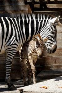 zebra_004